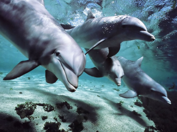 Dolphins-talk-language-e1361708118134